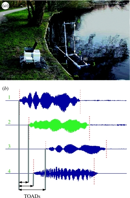 (a) The set-up with a linear horizontal array of three microphones and one microphone above the middle microphone. The microphones were separated by 1 m. The array was set with the horizontal microphones 30 cm over the water of a pond, where M. daubentonii hunted every night. The four microphones are marked with green numbers on the array and on the corresponding channels of the recording. We determined the (b) time-of-arrival differences (TOAD) of the sonar sounds between recording channels by cross-correlation.