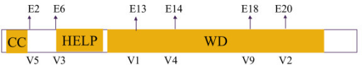 Structure of the N-terminal exons of EML4. The coiled-coil domain (CC) is responsible for dimerization and constitutive activation of EML4-ALK; HELP, hydrophobic EMAP-like protein domain; WD, WD-repeat domain.