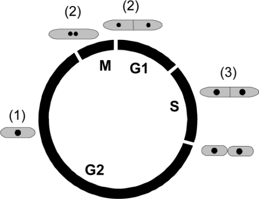 Schematic representation of the S. pombe cell cycle.The circle indicates the relative positions and durations of the different cell-cycle phases. The bodies outside the circle indicate the morphology of cells at the different phases and the numbers in parentheses show the subpopulations that they belong to (see Figure 2). The nuclei are indicated by dark spots.