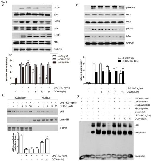 Effects of DCO-6 on the LPS-induced activation of MAPKs and NF-κB in RAW264.7 cells.Cells were treated with various concentrations of DCO-6 in the absence or presence of LPS for 6 h. (A–B) The protein levels of total and phosphorylated p38, JNK, ERK and IKKα, IKKβ, IκBα were determined at least three times, and the representative data are shown. (C) Cytoplasmic and nuclear proteins were extracted and assayed by immunoblotting analysis. Expressions of β-actin and LaminB1 were shown as loading controls. Bands from (A–C) were analyzed by densitometry. Quantitative data are shown. *P<0.05 vs LPS control. (D) Nuclear proteins were extracted and assayed by EMSA. A 75-fold excess of unlabelled oligonucleotide probe and mutant probe were used as controls.