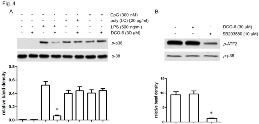 Effects of DCO-6 on p38 MAPK activation induced by different TLR ligands in RAW264.7 cells.(A) Cells were treated with DCO-6 in the absence or presence of indicated TLR ligands for 6 h. Whole cell lysates were prepared for Western blotting analysis. The protein levels of total and phosphorylated p38 were determined at least three times, and the representative data are shown. (B) Cells were stimulated by 500 ng/ml LPS for 6 h and the protein was collected. Phosphorylated p38 MAPK was immunoprecipitated. The immune complexes were used for testing the effects of DCO-6 and SB203580 on kinase activities. Representative data are shown. Bands from (A–B) were analyzed by densitometry. Quantitative data are shown. *P<0.05 vs control.