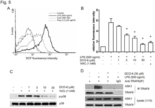 Effects of DCO-6 on the production of intracellular ROS and the formation of TRAF6-ASK1 complex in RAW264.7 cells.(A) Cells were incubated in the absence or presence of indicated TLR ligands for 6 h. Intracellular ROS production was detected by DCF fluorescence using flow cytometry. (B) Cells were treated with various concentrations of DCO-6 in the absence or presence of LPS. Intracellular ROS production was detected as mentioned above. Data are shown as means ± S.D. of three independent experiments. *P<0.05 vs LPS control. (C) Cells were treated with various concentrations of DCO-6 in the absence or presence of H2O2 for 6 h. Whole cell lysates were prepared for Western blotting analysis. The protein levels of total and phosphorylated p38 were determined at least three times, and representative data are shown. (D) The interaction between TRAF6 and ASK1 was measured by coimmunoprecipitation assay. Representative data are shown.