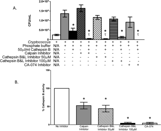 Inhibition of cathepsin B enzymatic activity enhances the antifungal effects against C. neoformans.C. neoformans strain H99 yeast cells were incubated in phosphate buffer alone, in phosphate buffer with either 50 µg/ml cathepsin B, 10 µg/ml calpain inhibitor, 50 or 100 µM cathepsin B & L inhibitor, 20 µM CA-074, or cathepsin B plus an inhibitor for 24 h at 37°C, following which the numbers of CFU in the wells were determined. A) Data shown are means ± standard errors of the means (SEM) of the cumulative results of 3 independent experiments. An asterisk * indicates a significant difference compared to the results for H99 in phosphate buffer alone (p < 0.05) and τ indicates a significant difference compared to the initial the inocula (white bar) (p < 0.05). B) The percent cathepsin B enzymatic activity following incubation with each different inhibitor was measured using the Cathepsin B Activity Assay Kit. Data shown are means ± standard errors of the means (SEM) of the cumulative results of 3 independent experiments. Asterisks * show significant differences in activity compared to cathepsin B alone (p < 0.05).
