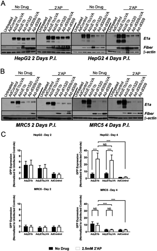 Treatment of HepG2 cells with 2′AP increased expression of virally encoded E1a, fiber and GFP.(A) HepG2 or (B) MRC5 cells were mock infected or infected with the indicated viruses at MOI of 100 VP/cell and then incubated for 2 days or 4 days, with or without 2.5 mM 2′AP treatment. Cells were washed and lysed and western blot analysis was performed on 10 µg protein per lane using antibodies against E1a, fiber and β-actin. (C) HepG2 and MRC5 cells were infected with AdΔE1b, AdΔE1bΔVA or AdControl at MOI of 100 VP/cell and then incubated in the absence or presence of 2.5 mM 2′AP. Green fluorescence intensity was measured 2 and 4 days post-infection and normalized to uninfected controls. Error bars correspond to +/−SD of quadruplicates (NS – Not Significant; ***p<0.001, one-way ANOVA).