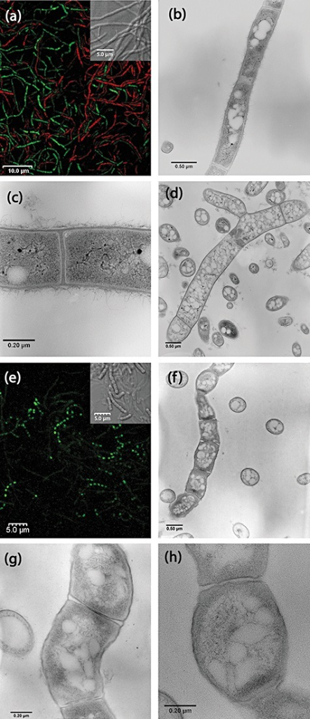 Immobilized wild‐type S. nodosus cultured in 48 h conditioned medium from S. nodosus. Confocal laser scanning microscopy images of hyphae and spore chains associated with capsules cultured for 2 days (a) and 4 days (e). Transmission electron micrographs of hyphae at day 2 (b–d) and day 4 (f–h). Bars represent: 10 µm (a), 5 µm (e, and inserts in a and e), 0.5 µm (b, d and f), 0.2 µm (c, g and h).