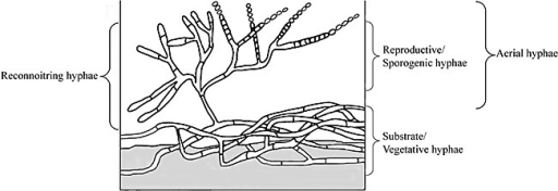 Model of Streptomyces at a solid–air or solid–liquid interface. Vegetative or substrate hyphae associated with a solid surface show infrequent branching and septation. Hyphae emerging from this biomass (termed 'aerial hyphae' at a solid–air interface) have infrequent septa and an indeterminate fate. These hyphae can develop into branched reproductive/sporogenic hyphae with frequent double‐walled septa or continue growing forming branched hyphae, infrequent septation and no commitment to sporulation (reconnoitring hyphae).