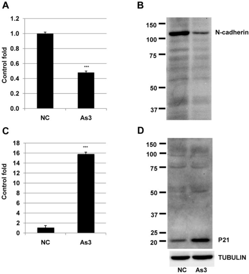 N-cadherin and p21 transcript and protein expression levels in HSC5 cells treated with arsenic.A and C) transcript expression levels of N-cadherin and p21 were measured by real-time PCR. ***, significantly different (p<0.001) from the control by Student's t-test. B and D) Protein expression levels of N-cadherin and p21 were measured by immunoblot. TUBULIN was used as a positive control. Three independent experiments were performed and the same results were obtained.