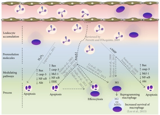 Targets to promote granulocyte apoptosis and inflammation resolution. During early phase of inflammation production of proinflammatory mediators and activation of signal survival pathways (PI3K/Akt, NF-κB, MAPKs, and CDKs) promotes leukocyte accumulation and survival in the inflammatory site. While inflammatory response evolves, local activation/release of proresolution mediators occurs and pathways (H2O2, AnxA1, and cAMP) that control further granulocyte ingress and turn on a resolution program. These resolution molecules, in addition to proresolving lipid mediators which are not highlighted in this cartoon, downregulate survival pathways and activate an apoptosis-associated program in granulocytes. Resolution molecules are also able to promote efferocytosis and coordinate reprogramming of macrophages. These events will reestablish tissue homeostasis.