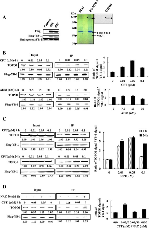 Chemical treatment promotes binding of TOPO1 and YB-1 through oxidative stress. A. Identification of the YB-1- TOPO1 interaction in Flag-YB-1 stably-transfected PC-3 cells. Whole-cell lysates (500 μg) prepared from two clones (cl35 and cl37) of PC-3 cells transfected with the pcDNA3-Flag-YB-1 expression plasmid were subjected to SDS–PAGE and western blotting. Transferred proteins were probed with anti-Flag (upper panel) or anti-YB-1 (lower panel) antibodies. Both Flag-YB-1 and endogenous YB-1 are shown (left panel). Nuclear extracts (500 μg) of control cells or cl37 PC-3 cells were immunoprecipitated with the anti-Flag (M2) antibody. The resulting immunocomplexes were separated by SDS-PAGE. And then two parallel gels were subjected to western blot and Coomassie blue staining, respectively. Transferred proteins were probed with the anti-TOPO1 antibody. The band labeled with an asterisk was identified as TOPO1. The Flag-YB-1 protein band is indicated by an arrow. B. Chemical treatment increases YB-1-TOPO1 complex. Cl37 Flag-YB-1 stably-transfected PC-3 cells were treated for 4 h with the concentrations of CPT or ADM indicated. Nuclear extracts were immunoprecipitated with the anti- Flag (M2) antibody, and the resulting immunocomplexes were subjected to western blot analysis with anti-Flag and anti-TOPO1 antibodies. C. Longer CPT treatment increased YB-1-TOPO1 interaction and YB-1 expression. Cl37 Flag-YB-1 stably-transfected PC-3 cells were treated with the indicated concentrations of CPT for 4 h and 24 h respectively. Nuclear extracts were immunoprecipitated with the anti-Flag (M2) antibody, and the resulting immunocomplexes were subjected to western blot analysis with anti-Flag and anti-TOPO1 antibodies. D. Pretreatment with NAC prevented the chemically augmented YB-1-TOPO1 interaction. Cl37 of Flag-YB-1 stably-transfected PC-3 cells were untreated or preincubated with NAC (30 mM, 1 h) before addition of CPT. Nuclear extracts were immunoprecipitated with the anti-Flag (M2) antibody, and the resulting immunocomplexes were subjected to western blot analysis with anti-Flag and anti-TOPO1 antibodies.
