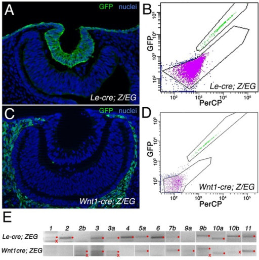 Flow sorting and Wnt expression in ocular ectoderm and mesenchyme. (A,C) GFP labeling in transverse cryosections of the eye region from Le-cre; Z/EG (A) and Wnt1-cre; Z/EG (C) mouse embryos at E10.5. Hoechst 33258 nuclear staining is in blue. (B,D) Flow sorting of GFP+ cells (green) from Le-cre; Z/EG (B) and Wnt1-cre; Z/EG (D) eye tissue at E10.5. (E) End-point PCR for labeled Wnt transcripts from flow-sorted GFP+ cells of the indicated genotype. Red dots indicate bands of the correct size for the particular Wnt transcript; red crosses indicate bands of incorrect size.