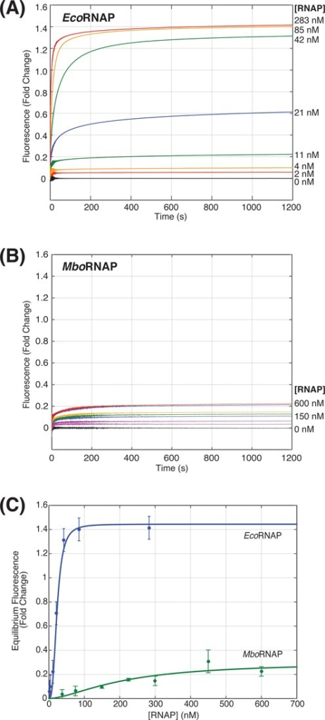 RNAP concentration dependence of promoter opening. (A) Fluorescence enhancement as a function of time for increasing concentrations of EcoRNAP (0–238 nM). (B) Fluorescence enhancement as a function of time for increasing concentrations of MboRNAP (0–600 nM). (C) Equilibrium fluorescence fold change for both EcoRNAP and MboRNAP as a function of polymerase concentration. Fits (solid lines) of the data allow the extraction of concentrations of half-maximal effect (23 ± 5 nM and 212 ± 43 nM) and saturated fluorescence enhancements (1.44 and 0.28) for EcoRNAP and MboRNAP, respectively.