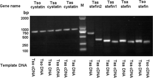 PCR fragments for cystatin superfamily in T. solium, T. saginata and T. asiatica.DNA and cDNAs of the three species were used as templates to amplify cystatin superfamily. The PCR products of cystatins are shown on the left of the DL2000 molecular marker, and stefins are shown on the right.