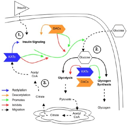 Theoretical overview of acetylation in insulin signaling and glucose metabolism. (A) KATs and DACs have been shown to regulate the acetylation patterns of various proteins within the insulin signaling pathway. However, the exact pattern of acetylation and the effect acetylation plays in response to insulin stimulation is not known. (B) Acetylation within glucose metabolism has been shown to regulate glycolytic enzymes and promote glycogen synthesis. However, the dynamics of acetylation patterns within these pathways, and the KATs and DACs that regulate them, following insulin stimulation, are not known. (C) Insulin stimulation may activate ACLY within the cytosol that produces acetyl CoA, from Citrate, required for subsequent acetylation of target proteins.