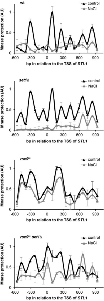 Set1 prevents chromatin remodeling in the absence of RSC. Set1 mediated methylation of H3K4 inhibits chromatin remodeling in RSC mutants. The indicated strains were grown in YPD at 25ºC until OD660 0.5 and shifted to under non-permissive temperature (37ºC) for 2 h. Nucleosome positioning at chromosomal STL1 was assessed by MNase digestion of chromatin of wild type (wt), set1Δ, rsc9ts or rsc9tsset1Δ cells that were treated (gray triangles) or not (black triangles) with 0.4 M NaCl for 10 min. MNase digested DNA was isolated and analyzed using qPCR with tiled primers spanning the promoter and coding regions (-600 bp upstream and 900 bp downstream of the transcription start site (TSS), respectively). The normalized nucleosome occupancy is shown (x-axis) relative to the TSS. Data represent the mean and standard deviation of three independent experiments.