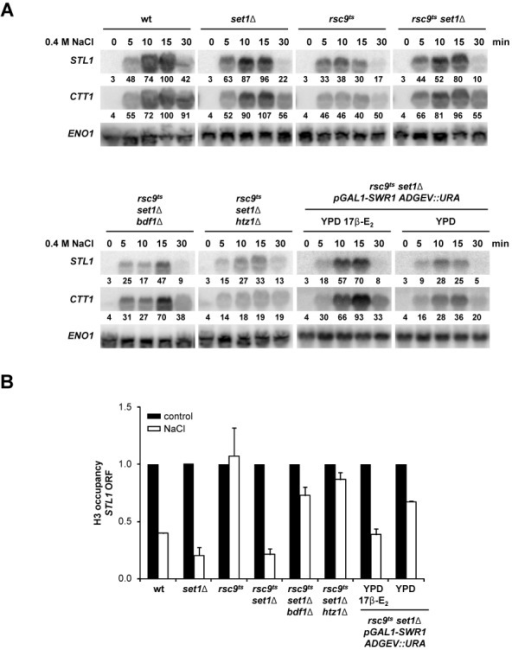 SWR1 is licensed to act as a chromatin remodeler in the absence of RSC and histone methylation. (A) Deletion of BDF1, HTZ1 and inducible expression of pGAL1::SWR1 prevents induction of osmo-responsive genes in an rsc9ts set1Δ background. The indicated strains were grown in either YPD or YPD 17β-estradiol (17 β-E2) before being shifted to a non-permissive temperature (37ºC) for 2 h. The cells were subsequently exposed to an osmotic stress of 0.4 M NaCl. Total RNA was assayed by northern blot for STL1, CTT1 and ENO1 (as loading control) expression. Quantification data came from the same original blot and it was normalized to the loading control. The value of maximum gene expression of the wild type strain was used as 100% reference. (B) Impairment of the SWR1 complex leads to defective chromatin remodeling. Total H3 eviction from the coding region of STL1 was followed using ChIP assays in the same strains and under the same conditions as in (A). The levels of total H3 under untreated (black bars) conditions were used as a reference for the treated samples (0.4 M NaCl, 10 min, white bars). Data represent the mean and standard deviation of three independent experiments.