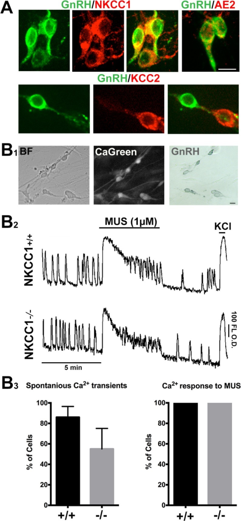 "GnRH neurons retain depolarization to MUS in the absence of NKCC1.A) As in vivo, GnRH cells (green) maintained in explants express NKCC1 (red), and AE2 (red). GnRH neurons were negative for KCC2, although a few non-GnRH neurons expressed KCC2 (lower panel, GnRH neuron fiber near KCC2 positive cell). B1) Example of GnRH neurons used for calcium imaging: bright field (BF), after loading with the calcium indicator (CaGreen), and after fixing and staining (GnRH). (B2) Examples of calcium imaging traces from NKCC1+/+ and NKCC1-/- GnRH neurons showed spontaneous activity in both genotypes (""Spontaneous Ca2+ transients"", B3). All GnRH neurons in both NKCC1+/+ (+/+) and NKCC1-/- (-/-) explants had calcium responses to MUS (""Ca2+ responses to MUS"", B3). Error bars = S.E.M. O.D. = optical density. Scale bars, A and B1 = 10 μM."