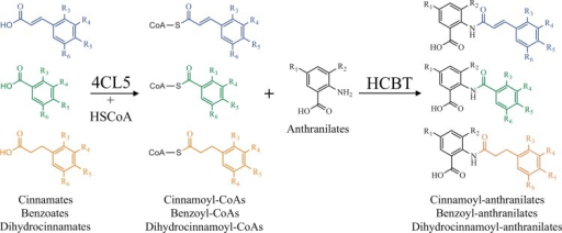 Strategy used for the biological synthesis of cinnamoyl, dihydrocinnamoyl, and benzoyl anthranilates.Diagram of the reactions catalyzed by 4CL5 and HCBT in the yeast strain engineered for the production of various cinnamoyl, dihydrocinnamoyl, and benzoyl anthranilates upon feeding with cinnamates, dihydrocinnamates, or benzoates (donors); and with anthranilates (acceptors). HSCoA, Coenzyme A.
