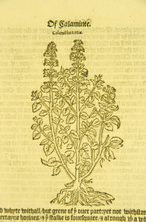 <p>Woodcut of calamintha.</p>