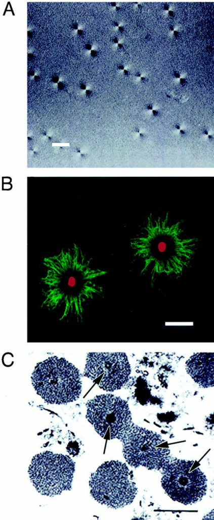 In vitro aster formation using centrosome-containing  sucrose fractions. Aliquots of centrosome fractions were reconstituted with tubulin media to assemble asters. (A) Aster-forming  activity was quantified using polarized light microscopy. (B) Asters  were composed of microtubules (green) stained by β-tubulin antibody TU27, which project from discrete central foci (red) stained  by γ-tubulin antibody EAD24. (C) EM analysis revealed that  centrosome fractions contained bona fide centrosomes composed  of centrioles (arrows) surrounded by a mass of pericentriolar material ∼2 μm in diameter. Bar, (A and B) 10 μm; (C) 2.0 μm.