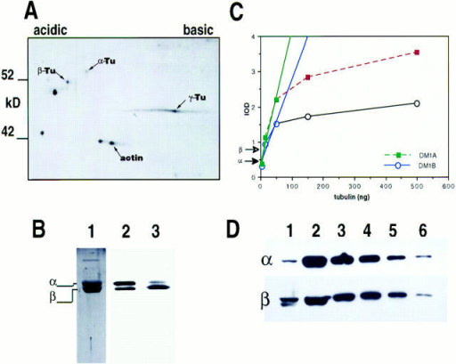 Analysis of centrosome tubulins. Centrosome preparations were  analyzed by two-dimensional gel electrophoresis (A)  and quantitative immunoblot  (B–D). Three tubulin types  were found in centrosomes,  α, β, and γ (A). γ-Tubulin  has a major isoform with a pI  of 5.52 and is the major form  of tubulin found in centrosome fractions. SDS-gel  analysis of glutamate-purified Spisula oocyte tubulin  stained with Coomassie blue  (B, lane 1) provided an α- and  β-tubulin standard (B, lane  2). Stoichiometrically equivalent amounts of α- and β-tubulin (B, lane 1) were probed simultaneously with antibodies  specific to either α-tubulin  (DM1A) or β-tubulin (DM1B)  (B, lane 2). In these samples,  the α-tubulin–specific signal  is more intense than the  β-tubulin–specific signal, indicating that DM1A is a  more sensitive probe than  DM1B (B, lane 2). In contrast, probing centrosome fractions resulted in a higher β-tubulin–specific (DM1B) signal than the α-tubulin–specific (DM1A) signal  (B, lane 3). The tubulin content of centrosomes was determined using quantitative immunoblot analysis. (D) 5 μg of centrosome protein (lane 1) and series dilution of purified Spisula tubulin standards (lane 2, 1 mg/ml; lane 3, 0.3 mg/ml; lane 4, 0.1 mg/ml; lane 5, 0.03 mg/ ml; lane 6, 0.01 mg/ml) were separated in 10% polyacrylamide gels and processed for immunoblot analysis using DM1A and DM1B (see  Materials and Methods for details). The IOD of tubulin stain for centrosome samples and each standard lane in D was determined by  densitometry and plotted (C). The IOD of only the top band of the two stained by DM1B in D, lane 1, was used in this analysis, the  lower band being an artifact in this particular blot. The linear range (C, solid lines) for DM1A (C, filled squares) and DM1B (C, open  circles) ranges from 0.01 to 0.1 mg. The IOD obtained for the tubulin signals in the centrosome sample for both DM1A and DM1B lay  within the linear range of detection (C, arrows). First order regression analysis was used to calculate the tubulin content of centrosomes  (results presented in text and Table II). The r2 value for the regression for DM1A was 0.962, and for DM1B was 0.893.