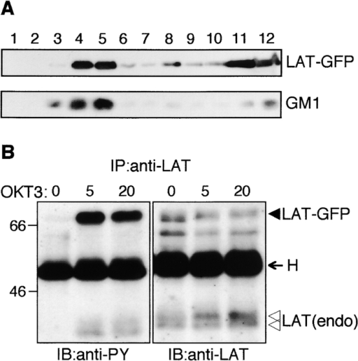 Characterization of the LAT-GFP fusion protein used in this work. (A) Localization of LAT-GFP in rafts from LAT-GFP–transfected Jurkat cells. LAT-GFP transfectants were lysed with MBS containing 1% Triton X-100, and the lysates were subjected to equilibrium gradient centrifugation. An aliquot of each fraction was electrophoresed and immunoblotted with HRP-conjugated CTx-B and anti-GFP antibody to detect GM1 and LAT-GFP, respectively. Fractions 4 and 5 correspond to the raft fractions. (B) Tyrosine phosphorylation of LAT-GFP after TCR cross-linking. The LAT-GFP transfectants were stimulated with OKT3 for the times indicated. Cell lysates were immunoprecipitated with anti-LAT antibody, and immunoprecipitates were analyzed by immunoblotting with anti-PY and anti-LAT antibodies. The closed arrowhead indicates LAT-GFP, whereas open arrowheads indicate endogenous LAT. The band migrating at 55 kD in each lane is the heavy chain (H) of the antibody used for immunoprecipitation.