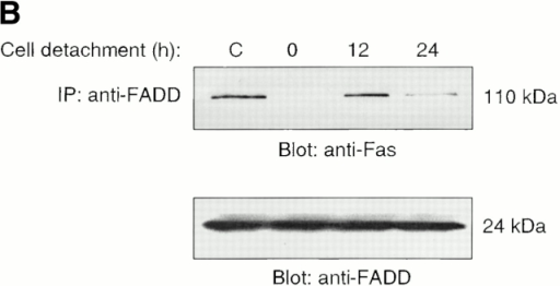 Cell detachment induces Fas/Fas-L interaction, DISC formation, and caspase-8 activation in HUVECs. Inhibition of anoikis by dnFADD and caspase-8 inhibitors. (A) Cell lysates were prepared from adherent HUVECs and from HUVECs that had been kept in suspension for the indicated times, and the lysates were subjected to immunoprecipitation analysis by anti–Fas-L antibodies (clone 33). Immunoprecipitates (IP) were analyzed by immunoblotting with anti-Fas antibodies (clone 13; top). The membranes were stripped and reprobed with anti–Fas-L antibodies (clone 33) to confirm equal amounts of Fas-L in the precipitates (bottom). Similar results were obtained when anti–Fas-L antibody G247-4 was used (data not shown). (B) The cell lysates were subjected to immunoprecipitations by anti-FADD antibodies. The immunoprecipitates were analyzed by immunoblotting with anti-Fas antibodies (clone 13; top), and the membranes were stripped and reprobed with anti-FADD antibodies to confirm equal amounts of FADD in the precipitates (bottom). C, Control cell lysate prepared from Jurkat T cells that had been activated by T cell receptor stimulation. (C) HUVECs were transiently transfected with an empty vector (control) or with an expression plasmid encoding dnFADD, together with plasmid coding for the green fluorescent protein (GFP). 24 h after transfection, the cells were either kept adherent or kept in suspension for the indicated time periods. The cells were then washed and propidium iodide was added for 20 min on ice. Apoptosis analysis by FACS® was carried out in the double positive cell population for propidium iodide and fluorescent GFP. In a separate experiment, we monitored apoptosis by staining the cells with Hoechst dye and found that results obtained with propidium iodide and Hoechst were indistinguishable from each other (not shown). Thus, the results obtained with the Hoechst dye confirm that cell death observed under our experimental conditions results from apoptosis, rather than necrosis. (D) HUVECs were left adherent or kept in suspension for 12 h in the presence or absence of the indicated concentrations of caspase-8 inhibitor z-IETD-fmk. In the left panel, apoptosis was determined by DNA fragmentation analysis; bars indicate SD in a representative experiment done in triplicate. In the right panel, cell lysates were prepared and analyzed by immunoblotting with an anti–caspase-8 antibody (Ab-1) that detects the p18 active form of the enzyme.