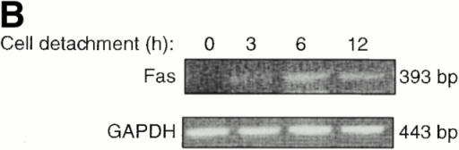Cell detachment upregulates Fas expression in HUVECs. (A) Detachment induces cell surface levels of Fas. HUVECs were kept adherent or in suspension for 12 h. FACS® analysis with anti-Fas antibody (UB2) was carried out as described in Materials and Methods. (B) Cell detachment increases the mRNA levels of Fas. HUVECs were kept adherent or in suspension for the indicated times, and Fas mRNA levels were determined by an RT-PCR analysis as described in Materials and Methods.