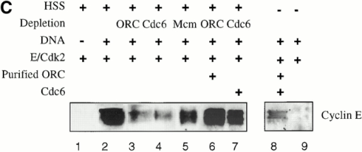 To assemble onto chromatin, cyclin E–Cdk2 requires an activity present in HSS that minimally contains ORC and Cdc6. (A) HSS was diluted with XB2 buffer before the addition of λ DNA templates and baculovirus cyclin E–Cdk2 for a 30-min incubation. Assembled chromatin was isolated and analyzed as in Fig. 1. Lane 1, no DNA; lanes 2–6, DNA templates assembled in HSS that was undiluted, or diluted 1:1, 1:3, 1:7, or 1:11 with XB2. (B) HSS was either left untreated (lanes 1–3), heat treated (lane 4), ATP depleted (lane 5), or supplemented with 10 mM MgCl2 (lane 6) before the addition of λ DNA templates (lanes 2–6). Purified baculovirus-expressed cyclin E–Cdk2 was also added to samples in lanes 3–6. Assembled chromatin was isolated and analyzed as above. (C) Individual aliquots of HSS were immunodepleted with antibodies specific to XORC2 (lanes 3 and 6), XCdc6 (lanes 4 and 7), XMCM3 (lane 5), or with beads alone (lane 2). Specific samples were supplemented with purified XORC complex (lanes 6 and 8) or baculovirus-expressed XCdc6 (lanes 7 and 8). All samples included baculovirus-expressed Xcyclin E–Cdk2 and an energy regenerating system. Depleted samples with and without additions were incubated with λ DNA for 30 min, sedimented through a sucrose cushion, and resolved by SDS-PAGE. (D) Western blots of depleted HSS used for assembling chromatin in C. Lane 1, mock depleted; lane 2, ORC2 depleted; lane 3, Cdc6 depleted; lane 4, MCM3 depleted.