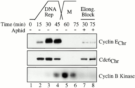 Replication elongation is required for cyclin E accumulation on chromatin. Cycling LSS extracts were incubated with sperm DNA for the indicated times in the absence (lanes 1–6) or the presence (lanes 7 and 8) of aphidicolin (Aphid; 40 μg/ml) before isolating chromatin templates by sedimentation and resolving chromatin-associated proteins by SDS-PAGE. Top shows Western blots for cyclin E and Cdc6, which remain bound to chromatin in varying amounts throughout DNA replication (DNA rep). Later time points showed no additional assembly of cyclin E onto chromatin in aphidicolin-treated samples. Bottom shows IP kinase assays of samples identical to those above. Anti–cyclin B antibodies conjugated to protein A–Sepharose beads were used to immunoprecipitate cyclin B, and associated kinase activity was assayed by in vitro phosphorylation of histone H1 in the presence of γ[32P]ATP. The peak in cyclin B kinase activity indicates that the extracts are in mitosis (M).