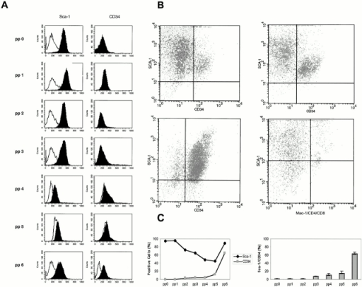 Immunophenotyping of the muscle-derived cells using FACScan™ analysis. Muscle-derived cells were tested for CD34 and Sca-1 single (A) and double (B) expression. A distinct population of Sca-1+ cells was found in all seven preplates, but CD34+ cells were observed only in pp6 (A). The morphology distribution of muscle-derived cells after flow cytometry showed different subpopulations within the Sca-1+ cell population (B). The profile of these cells varied from cells with large diameters (pp0–4) to small diameters (pp5–6). The majority of cells derived from pp3 (B, top left quadrant) and pp5 (B, top right quadrant) highly express Sca-1, but were also poorly CD34+. Muscle-derived cells from pp6 showed 69% double-positive cells for CD34 and Sca-1 markers (B, bottom left quadrant). However, all Sca-1+ cells were not CD34+ and a fraction of the population of pp6 was single-positive for CD34 (7%). The Sca-1, CD34 double-positive muscle-derived cell population was gated in a region of small cell diameter, a phenotype characteristic of hematopoietic progenitors. Labeling of cells with antibodies against Sca-1 and the lymphoid CD4 and CD8 markers was also performed (B, bottom right quadrant). Dead cells were excluded from analysis. Calculation of Sca-1 and CD34 single (C, left) and double (C, right) positive cells as the percentage of cells contained within all preplates is shown graphically.