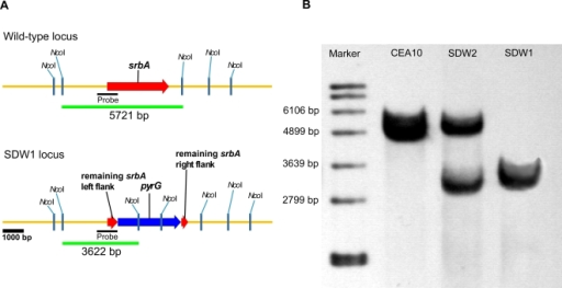 Generation and confirmation of a SrbA  mutant in Aspergillus fumigatus.(A) Schematic of wild type (CEA10) and SDW1 (SrbA  mutant) genomic loci. (B) Southern blot analysis of wild type, SDW1, and SDW2 strains. Genomic DNA from the respective strains was isolated and digested overnight with NcoI. An approximate 1 kb genomic region of the SrbA locus was utilized as a probe. The expected hybridization patterns and sizes were observed for the wild type CEA10 (5721 bp) and SrbA mutant (SDW1) (3622 bp) strains. In addition, confirmation of ectopic reconstitution of the SrbA  mutant was confirmed by the presence of the wild type srbA locus hybridization signal and persistence of the SrbA  mutant locus (strain SDW2).