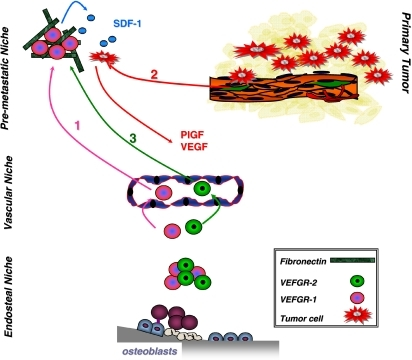 The bone marrow releases VEGFR-1 and 2 pos. precursor cells that promote the development of distant metastases. VEGFR-1 BMDC cells can colonize distant organs via adhesion to fibronectin forming pre-metastatic niches (1). These cells release SDF-1 that attracts CXCR-4 circulating tumor cells (2). When established in these pre-metastatic niches, tumor cells secrete VEGF, PlGF and other cytokines that attract VEGFR-2 pos. BMDC that will contribute to neo-angiogenesis (3)