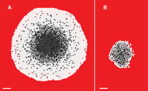 SMS cross-sections at 17 DAYS. Scale bar: 100 μm. Parameter values were those listed in Table 2. White circles: proliferating CELLS; light gray circles: quiescent CELLS; dark gray circles: NECROTIC CELLS. The background gradient (from red to black) represents NUTRIENT levels relative to the maximum value in red. (A) Growth occurred at high NUTRIENT, which maps to 0.28 mM oxygen and 16.5 mM glucose. (B) Growth occurred at low NUTRIENT, which maps to 0.08 mM oxygen and 0.8 mM glucose.