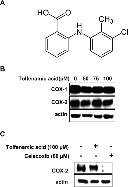 A, The structure of tolfenamic acid; B, The effect of 50, 75 and 100 µM of tolfenamic acid (one of nonsteroidal anti-inflammatory drugs (NSAIDs) for 48 h on the expressions of cyclooxygenase (COX) proteins in KB cells. Immunoblot detection of the COX-1 and COX-2 proteins in whole cell lysates. C, Immunoblot detection of COX-2 protein in whole cell lysates treated with dimethyl sulfoxide (DMSO), 100 µM of tolfenamic acid, and 60 µM of Celecoxib. Actin was used to normalize the protein loading from each treatment.