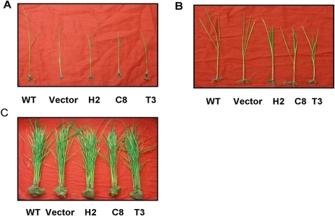 Growth phenotypes of wild type (WT) plants, empty transformation vector plants and transgenic lines.(A) Two-week-old seedlings. (B) Plants at the four leaf stage. (C) Mature plants.