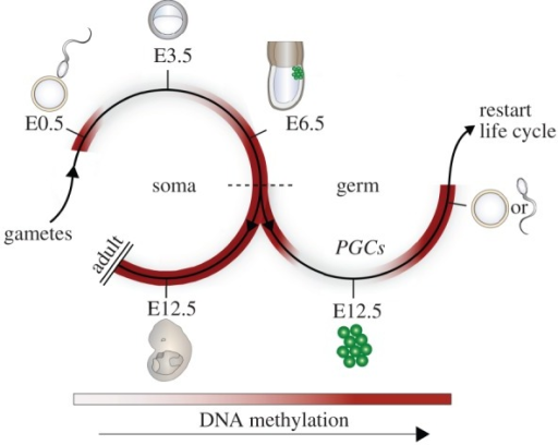 role of 5 methylcytosine oxidation in mammalian development Through conversion of 5‐methylcytosine to its oxidation derivatives 5 in mammalian genomes, methylation role for 5mc oxidation in exon.