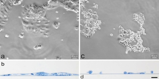Effect of methyl-β-cyclodextrin (MβCD) on cells. a, b: Control. Cells are well spread and cell–cell adhesion is well developed. a: Phase contrast microscopy; b: thin section stained with toluidine blue. c, d: MβCD treatment induces morphological changes in cells. Cell–cell adhesion is diminished and cells acquire a round shape. Scale bar, 40 µm (for b and d). [Color figure can be viewed in the online issue, which is available at wileyonlinelibrary.com.]