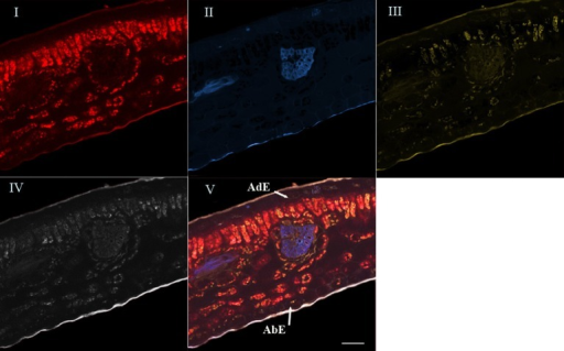 Spectral analysis by linear unmixing method using chlorophyll, 5-CQA and mangiferin spectra. Merged image V was splitted into four base images (I, II, III, and IV). Base image I showed histolocalization of chlorophyll, whereas base images (II) and (III) represented histolocalization of 5-CQA and mangiferin, respectively. Finally, base image (IV) depicted other fluorescent compounds (residual fluorescence). AdE, adaxial epidermis; AbE, abaxial epidermis; Scale bar = 50 μm.