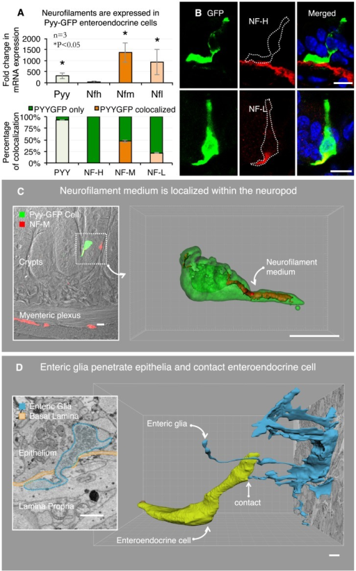 3D ultrastructure reveals axonal process escorted by enteric glia.A. Enteroendocrine cells compared to other intestinal epithelial cells express neurofilaments light and medium (top panel). Neurofilament proteins light and medium are expressed in 22% and 47% of Pyy-GFP cells, respectively (bottom panel). This quantification was performed using immunohistochemistry with neurofilament-specific antibodies. B. Top panel is a representative image showing that neurofilament heavy is expressed in subepithelial myofibroblasts but not in enteroendocrine cells. Neurofilament light is contained within the Pyy-GFP cell basal process (bottom panel). C. Enteroendocrine cells contain neurofilament medium within the neuropod. Inset shows the position of the cell in the epithelium of the ileum. 3D reconstruction of confocal z-stacks depicts the neurofilament medium contained within the Pyy-GFP cell neuropod. D. The SBEM data also revealed the relationship between the neuropod in the Pyy-GFP cell and enteric glia. Enteric glia trespass the basal lamina and penetrate into the epithelium (inset). SBEM data segmentation revealed that the enteric glia extends a cytoplasmic process into the epithelium that contacts the enteroendocrine cell neuropod. Bars in B and C = 10 µm, in D = 1 µm.
