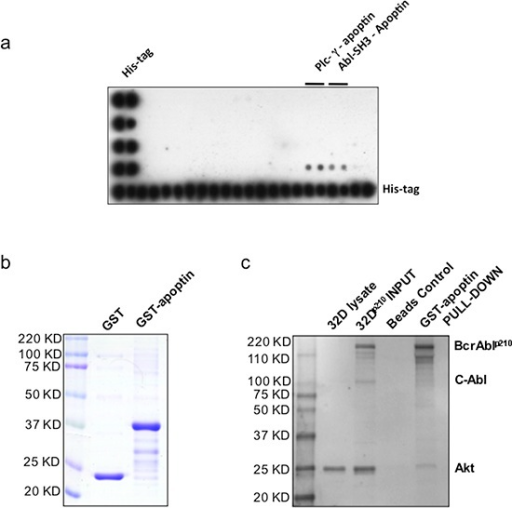 Apoptin interacts with the SH3-domain of Abl – confirmation of apoptin's interaction with BCR-ABL1(a) TransSignal SH3 Domain Array1 interaction of apoptin and SH3 domains of Abl (D 3, 4); (b) Production of recombinant GST conjugated apoptin. (c) Akt, Apoptin & Bcr-Abl Interaction: Class lb SH3 ligand specifically 'pulls down' its corresponding protein-protein interaction domains.