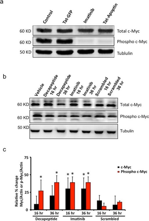 Downstream effects of Bcr-Abl inhibition by apoptin or its bioactive decapeptide(a) Western blot image showing inhibition of c-Myc phosphorylation by Tat-apoptin among K562 cell lines similar to that of Imatinib. (b) Bioactive apoptin decapeptide shows similar attenuation of phosphorylation of c-Myc by 36 h but not the scrambled peptide sequence. (c) Quantification of western blot data from figure 5b. N=3. *p<0.05.