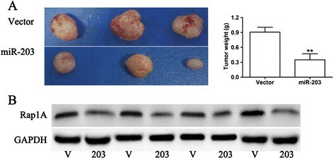 MiR-203 inhibits tumor growth in vivo. (A) Representative anatomical photos of xenograft tumors in nude mice injected subcutaneously with DU145 cells infected with vector or miR-203. Tumor weight was measured at the same time. (B) Rap1A protein expression in xenografts from vector control groups and miR-203 over-expression groups was assessed by western blot analysis. Lanes 1, 3, 5, 7 were samples from the vector control group. Lanes 2, 4, 6, 8 were samples from the miR-203 over-expression group. ** p < 0.01.