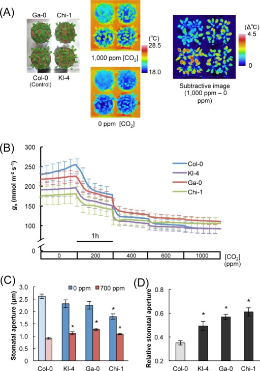 The phenotype of Kl-4, Ga-0, and Chi-1, which exhibit low CO2 responsiveness.(A) Thermal imaging of the three selected ecotypes Kl-4, Ga-0, Chi-1, and the commonly used ecotype Col-0. Plants were subjected to 0 ppm CO2 for 2 h and then 1,000 ppm CO2 for 1 h at 40% RH. The subtractive image on the right shows that the largest temperature changes were exhibited by Col-0. (B) Time courses of stomatal conductance (gs) in response to changes in CO2 concentration in Kl-4, Ga-0, Chi-1, and Col-0. Col-0 is more responsive to changes in CO2 concentration than Kl-4, Ga-0, Chi-1. (C) Sizes of stomatal apertures at low and high CO2 concentrations. Plants were subjected to 0 ppm CO2 for 2 h and then transferred to 700 ppm CO2 for 1 h at 40% RH with 150 μmol m-2 s-1 photosynthetically active radiation. (D) The relative changes in stomatal aperture (relative stomatal aperture) were calculated as (stomatal aperture in 0 ppm CO2)/(stomatal aperture in 700 ppm CO2). Large values represent small responses. Data presented are means ± SE (n = 60) of five independent experiments. Significant differences from Col-0 at p < 0.05 (Student's t test) are indicated by asterisks.