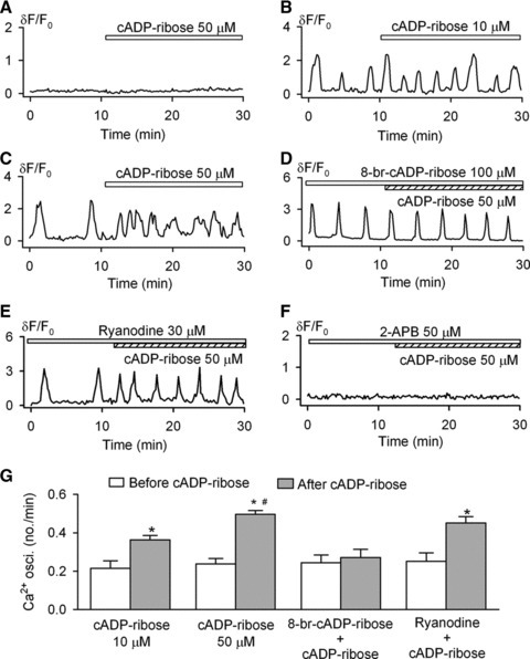 Effects of cADPR on spontaneous Ca2+i oscillations. (A) Cyclic ADP ribose did not initiate Ca2+i transient or Ca2+i oscillations in the cell without spontaneous Ca2+i oscillations. (B and C) Cyclic ADP ribose increased frequency of Ca2+i oscillations at 10 and 50 μM. (D) 8-Br-cADPR prevented the effect of cADPR on Ca2+i oscillations. (E) Ryanodine (30 μM) did not antagonize the cADPR effect. (F) IP3Rs blocker 2-APB (50 μM) blocked Ca2+i oscillations and prevented the cADPR effect. (G) Mean values of Ca2+i oscillation frequencies in the absence or presence of cADPR under conditions of the effects of 10 μM (n = 20), 50 μM (n = 36), 100 μM 8-Br-cADPR plus 50 μM cADPR (n = 23) and 30 μM ryanodine plus 50 μM cADPR (n = 21) on frequency of Ca2+i oscillations. *P < 0.05 versus before cADPR, #P < 0.05 versus 10 μM cADPR.