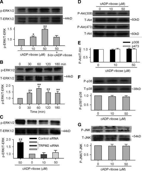 Cyclic ADP ribose and proliferation-related kinases. (A) ERK1/2 phosphorylation at Thr185/Tyr187 was enhanced in the presence of cADPR (10 and 50 μM) for 60 min. and 8-Br-cADPR (100 μM) reduced the effect (upper panels). Mean values (lower panel) for ratio of p-ERK1/2:total ERK1/2 (n = 3, *P < 0.05, **P < 0.01 versus 0 μM cADPR). (B) Time-dependent effect of cADPR on ERK1/2 phosphorylation and mean values for ratio of p-ERK1/2:total ERK1/2 in the presence of cADPR for 30, 60, 120 and 180 min. (n = 3, **P < 0.01 versus 0 μM cADPR). (C) ERK1/2 phosphorylation and mean values for ratio of p-ERK1/2:total ERK1/2 in the presence of cADPR in the cells transfected with control siRNA or TRPM2 siRNA for 72 hrs (n = 3, **P < 0.01 versus 0 μM cADPR). (D) Akt1 phosphorylation at Thr308 and Ser473 was not affected by cADPR (10 and 50 μM for 60 min.). (E) Mean values for ratio of p-Akt(308):total Akt (n = 3) and p-Akt(473):total Akt (n = 3). (F) p38 MAPK phosphorylation levels at Thr180/Tyr182 were not changed when incubated with cADPR (10 and 50 μM) for 60 min. (n = 3). (G) JNK phosphorylation levels at Thr183/Tyr185 were not changed when incubated with cADPR (10 and 50 μM) for 60 min. (n = 3).