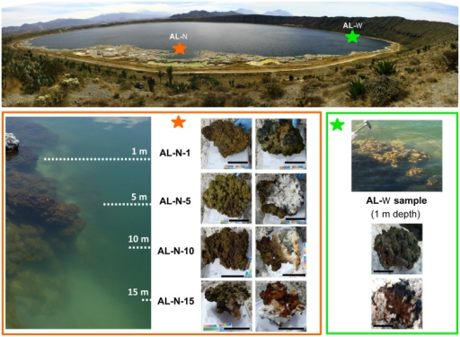 Lake Alchichica sampling sites and microbialite fragments collected. The two sampling sites AL-N and AL-W are indicated on the lake with stars. Photographs taken on site of the different samples are shown below. For AL-N samples, the correspondence with the depth gradient is schematically indicated on the (left). Upper views of microbialite fragments are shown on the left (AL-N) and upper (AL-W) part of the respective panels; downside views are on the right (AL-N) and lower (AL-W) part of the panels. The scale bar corresponds to 10 cm.