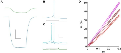 (A) Coupling demonstrated by a hyperpolarizing current pulse in a pair of simple Hodgkin-Huxley neurons; cc = 0.15. Scale bar 2 mV, 25 ms. (B) Spiking one of the model cells (blue) for a minimal input (lower, gray); the coupled neuron was quiet. (C) Spiking in the same cell (light blue) for the same current pulses as in (A) (lower, shown in gray), with the coupled neighbor also spiking (lower, shown in green). Responses from (A) are repeated, vertically offset, for clarity (dark blue). Scale bar 10 mV, 25 ms. (D) δL plotted against coupling coefficient in the modeled pair, for three values of excitability [sodium conductances of 60 (pink), 75 (maroon) and 90 (red) μS/cm2].
