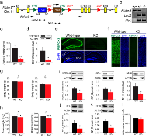 Validation and phenotypic characterization of Rbfox3−/− mice.(a) Schematic of the targeting locus on the Rbfox3 gene. A LacZ-Neo cassette was inserted into the intron between exon 6 and 7 and FRT sites flanked the cassette. LoxP sites flanked exons 7 to 9. (b) Genotyping by PCR analysis of tail genomic DNA [WT (+/+), heterozygous (+/−), and homozygous (−/−) mutant] using Rbfox3, LacZ and Neo primers (indicated in a). (c) Quantitative RT-PCR analysis of cerebral cortical Rbfox3 transcripts from WT and Rbfox3 homozygous knockout (Rbfox3−/−) (KO) mice. Student's t-test, two-tailed **P < 0.01, n = 4 per group. (d) Western blotting analysis of hippocampal RBFOX3 protein from WT and KO mice probed with antibodies to RBFOX3 and ACTIN. Student's t-test, two-tailed *P < 0.05, n = 4–6 per group. (e) Hippocampal regions from WT and KO mice immunostained with RBFOX3 antibody (green) and counter-stained with DAPI (blue). Scale bar = 200 μm. (f) Somatosensory cortical regions from WT and KO mice immunostained with anti-RBFOX3 antibody (green) and counter-stained with DAPI (blue). Scale bar = 200 μm. (g) Body weights and (h) brain weights from WT and KO mice. Student's t-test, two-tailed, *P < 0.05, ***P < 0.001, n = 7-13 per group. Neuronal integrity determined with western blotting analysis of neurofilament protein heavy chain (NF200-H) (i, left) and its phosphorylated (pNF-H) (i, middle) and non-phosphorylated (NF-H) form (i, right), neurofilament protein light chain (j), neurofilament protein medium chain (k) in the hippocampus of WT and KO mice. Student's t-test, two-tailed or Mann-Whitney rank sum test *P < 0.05, n = 6-8 per group. (l) White matter volume determined with MRI analysis in the whole brain of WT and KO mice. Student's t-test, two-tailed, *P < 0.05, n = 6 per group.