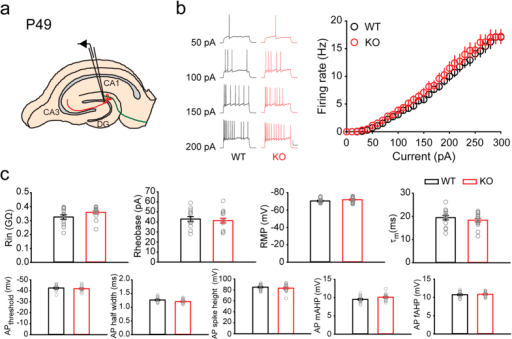 Granule cells of adult Rbfox3−/− mice display normal neuronal intrinsic excitability.(a) Schematic of granule cell recording in a hippocampal slice at P49. (b) Representative response to current injections and average spike frequency-current curves (WT, n = 14 cells, 5 mice; KO, n = 15 cells, 5 mice). Scale bars represent 20 mV and 200 ms. (c) Intrinsic parameters of granule cells were measured. Abbreviations: Rin = input resistance, RMP = resting membrane potential, AP = action potential, mAHP = medium afterhyperpolarization, fAHP = fast afterhyperpolarization. All data are presented as mean ± s.e.m.