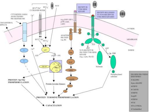 Heuristic model showing the tyrosine phosphorylation si ...